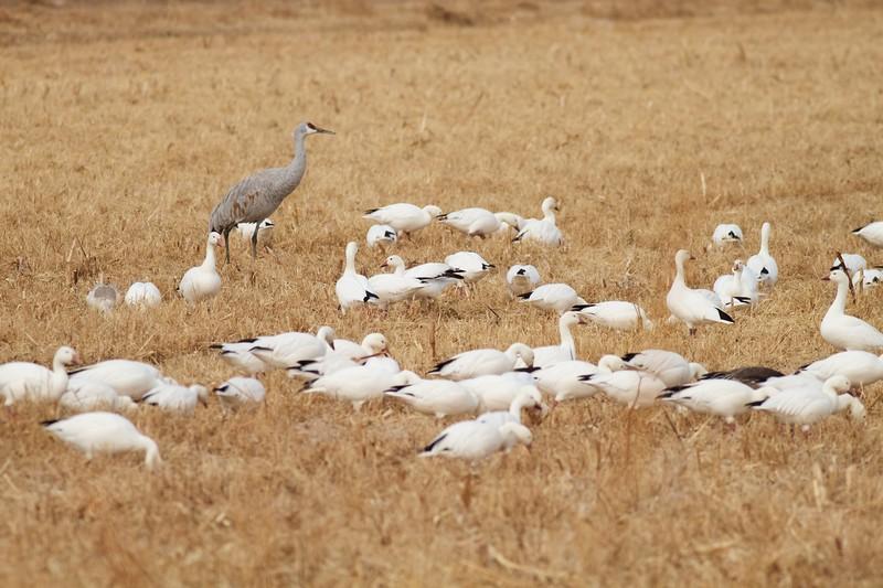 Sandhill Crane and Snow Goose flock Bosque del Apache NWR Socorro NM IMG_9840.CR2.jpg
