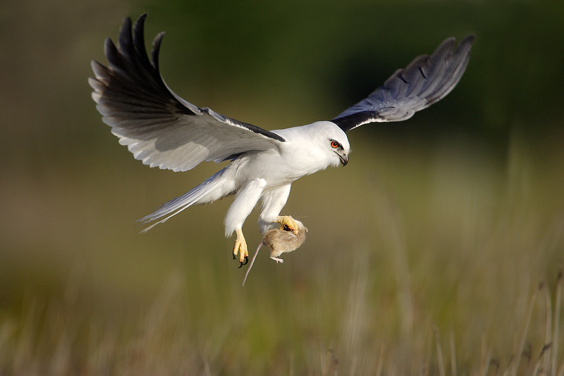 Black-shouldered Kite 2.jpg