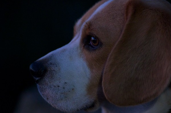 Archie the Beagle