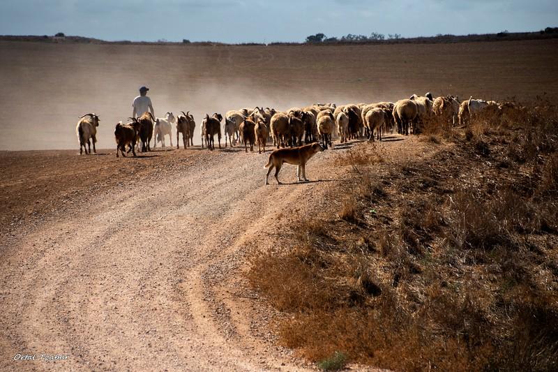 הרועה והכבשים 2.jpg