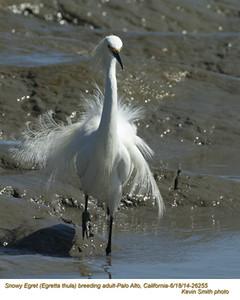 Snowy Egret A26255.jpg