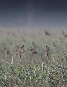 Pensassirkkalintu (Locustella naevia)