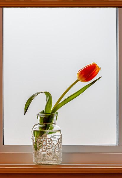 Gail Marchessault - Tulip - MCC May 3 2020.jpg