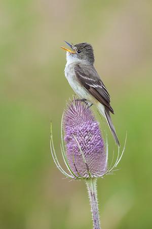 Empidonax Flycatchers (Tyrannidae/Empidonax)