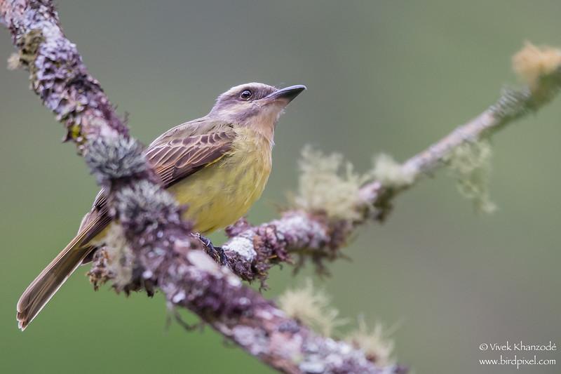 Golden-crowned Flycatcher - Inkaterra Resort, Aguas Calientes, Peru