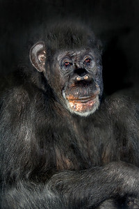 portrait of a sad old male chimpanzee