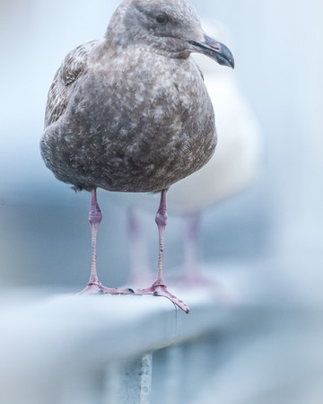 Seagulls knee