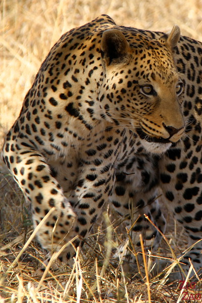 Leopard at Africat Okonjima, Namibia photo 4