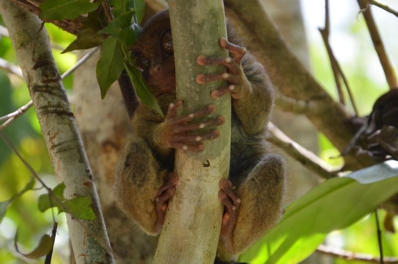 DSC_7121-tarsier-front-view.JPG