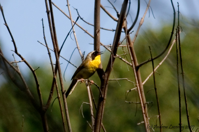 Hooded Warbler.jpg