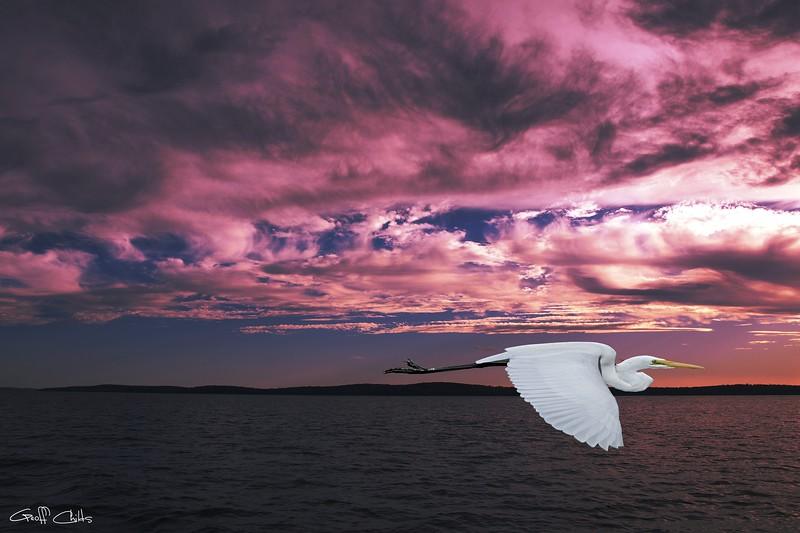 Flying Egret in Sea Sunset.