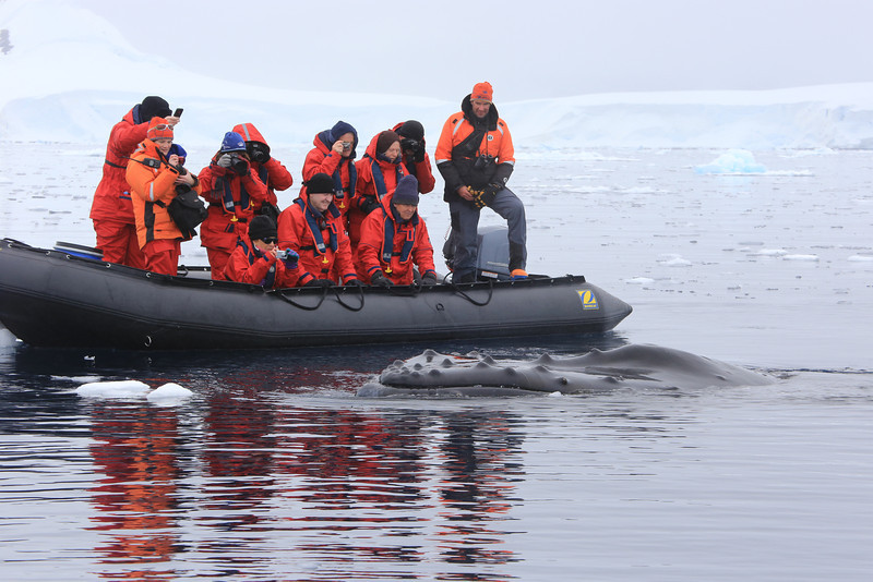 Wilhelmina Bay, a friendly Humpback whale visits the Zodiac.