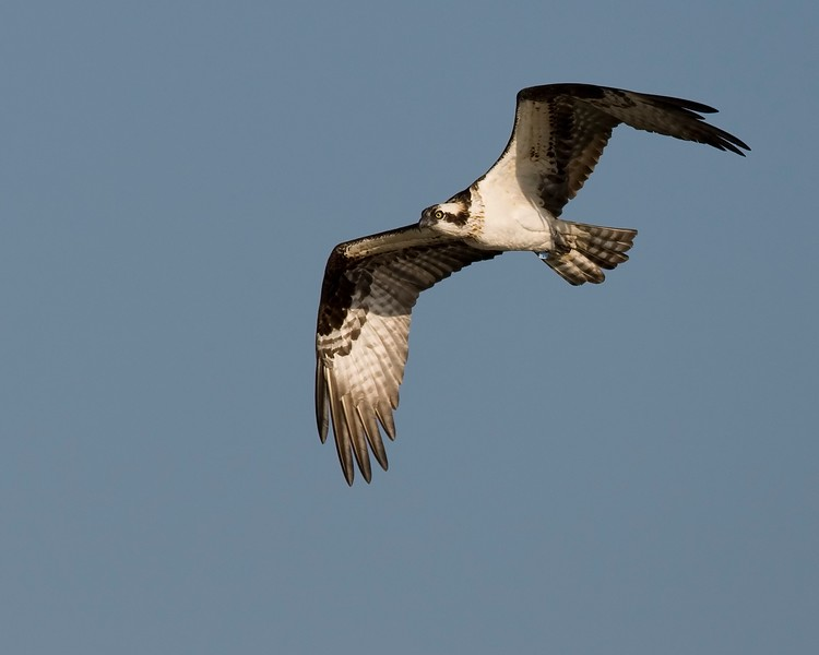 Osprey Flight 1.jpg