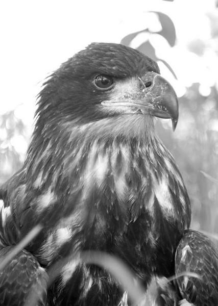 BABY EAGLE3.jpg