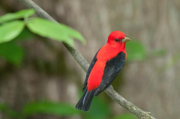 tanager, thrush, and robins