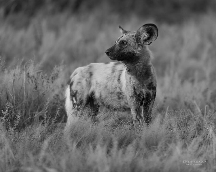 African Wild Dog, b&w, Savuti, Chobe NP, Botwana, May 2017-13.jpg