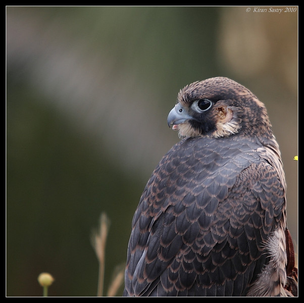 Peregrine Falcon, La Jolla Cove, San Diego County, California, May 2010