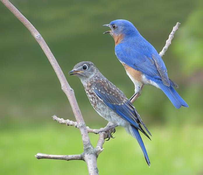 sx30_bluebird_fledgling_089.jpg