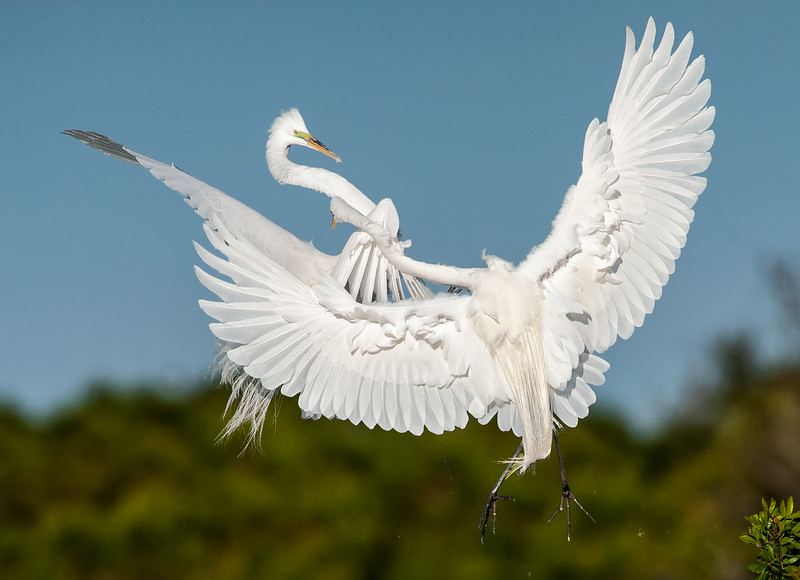 Aerial altercation, Great Egrets