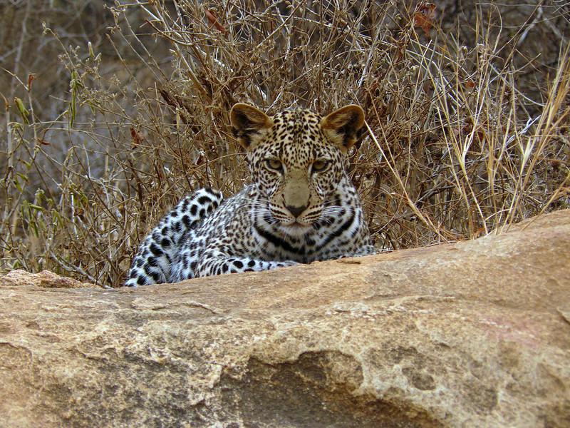 Leopard Tsavo East 3.jpg