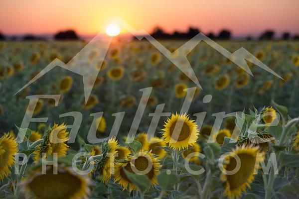 Sunflower Fields July 2, 2017
