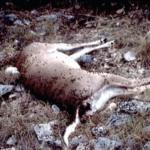 anthrax-outbreak-in-deer-a-warning-to-hunters-landowners-in-southwest-texas
