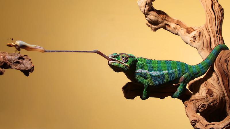 Chameleon Eats Mantis (2).jpg
