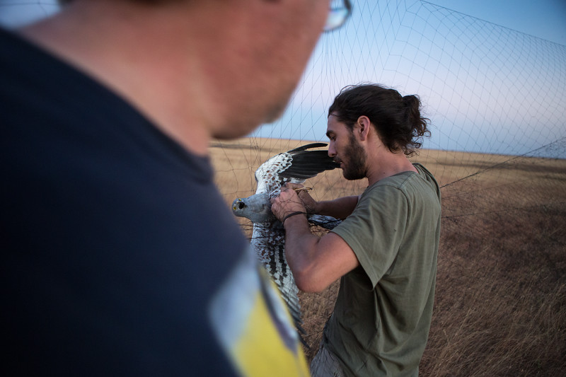 Steve Augiron untangles a male Montagu's harrier from a mist net as Ben Koks (Netherlands) watches. Khelcom, Senegal.