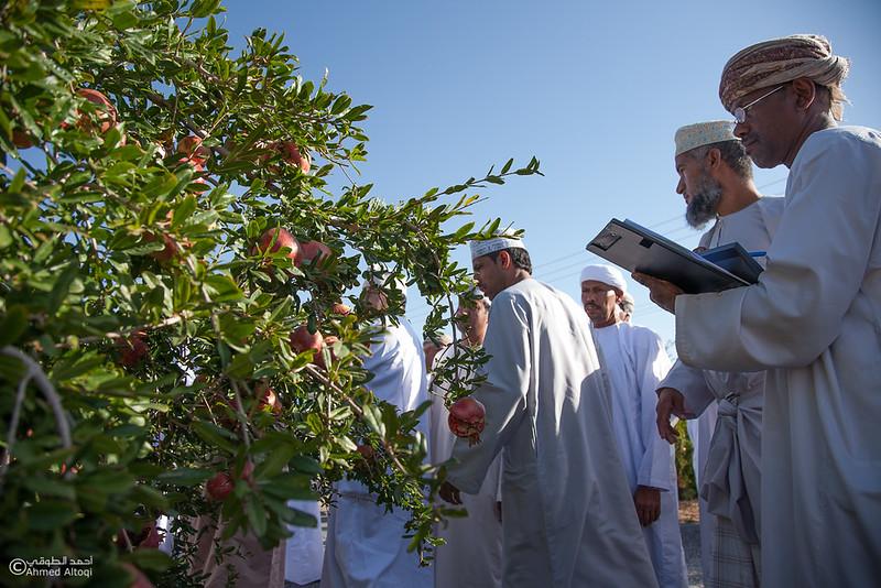 Pomegranate - Aljabal Alakhdhar (33)-Aljabal Alakhdhar-Oman.jpg