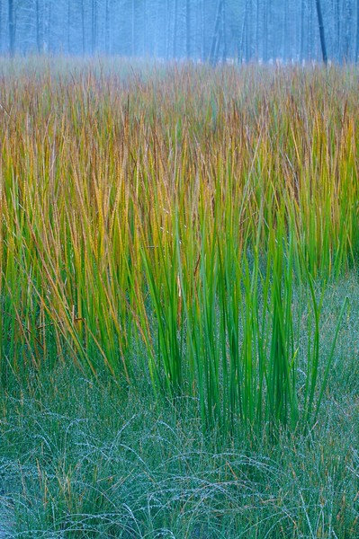 Sedges, grasses and pines on a frosty morning [September; Yellowstone National Park, Wyoming]