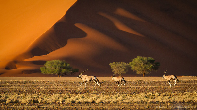 Oryx sprint along the plains in front of huge orange sand dunes - Sossusvlei, Namibia.