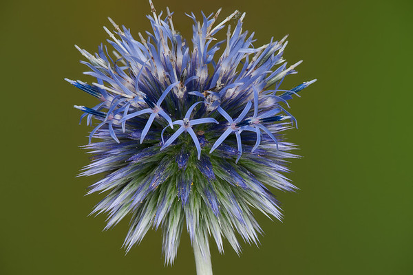 Flower Focus Stacks