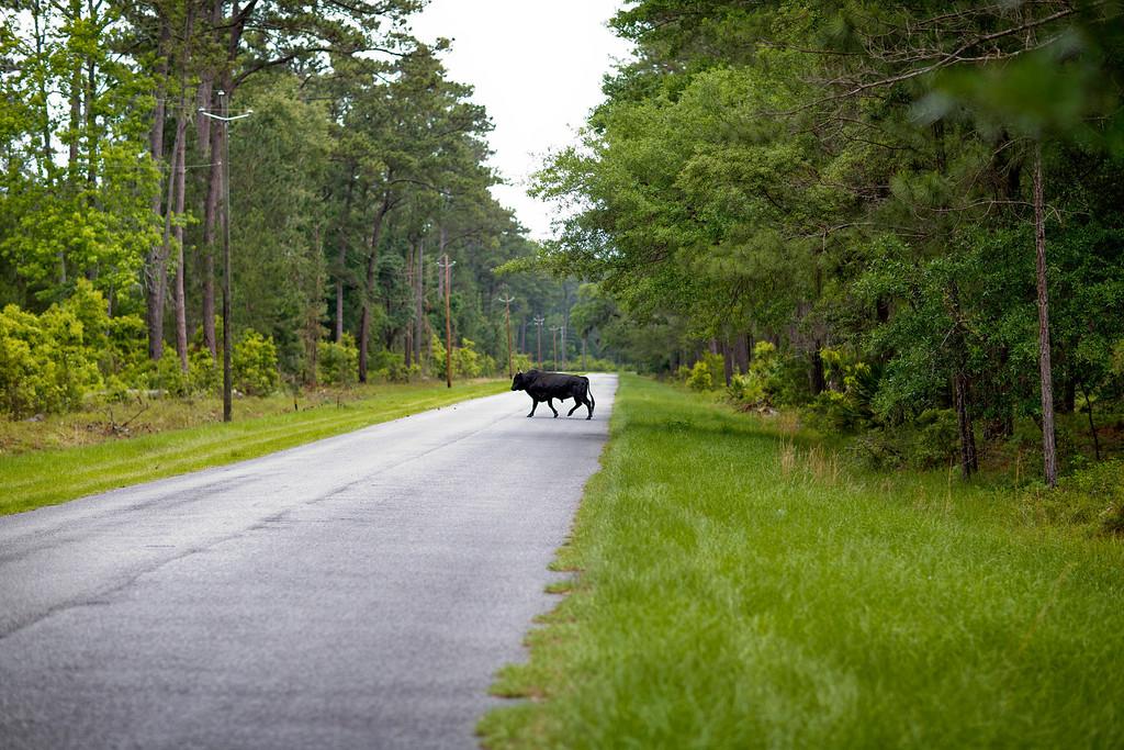 ". A bull crosses the main road, known as the \""Autobahn,\"" on Sapelo Island, Ga. on Thursday, May 16, 2013. (AP Photo/David Goldman)"