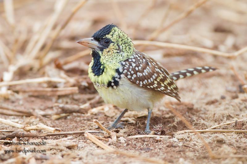 d'Arnaud's Barbet - Tarangire National Park, Tanzania