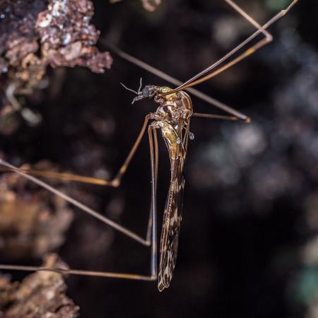 Genus Discobola (Unidentified)