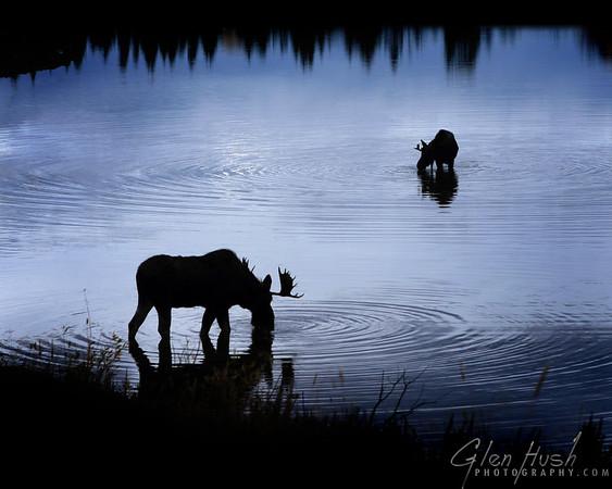 Moose110