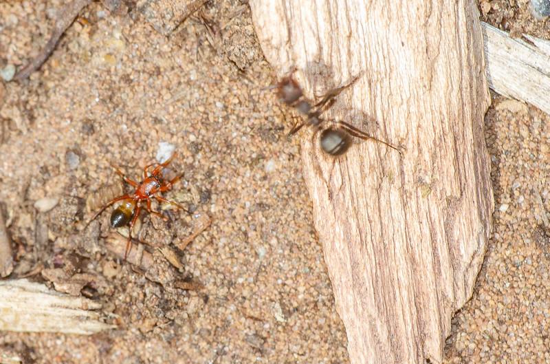 Peckhamia species Ant-mimicking Jumping Spider found inside our home Skogstjarna Carlton County MN IMG_0408.jpg