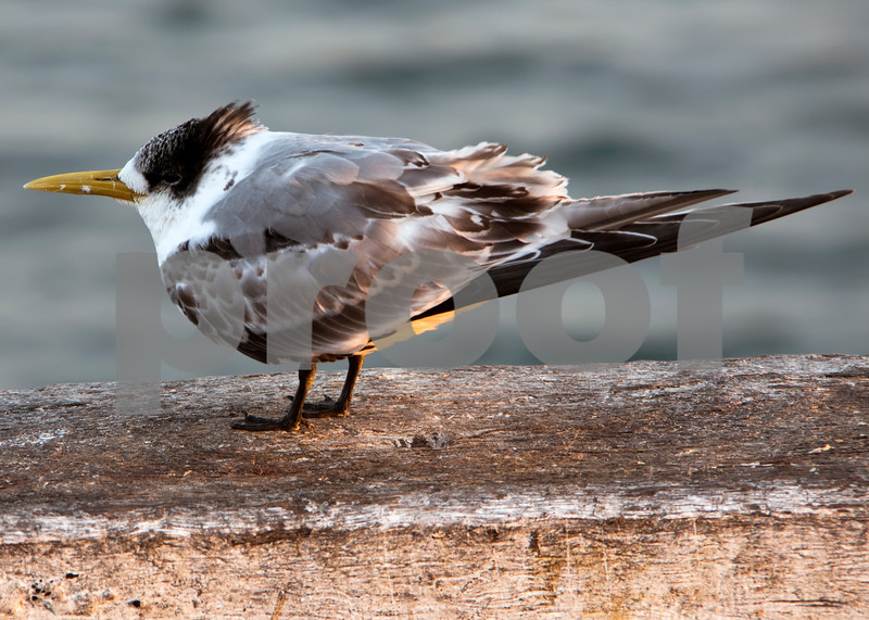 Tathra Tern.jpg