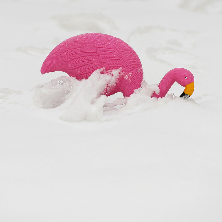 . ARVADA, CO-April 17, 2013: A pink flamingo is covered in new snow in Arvada, April 17, 2013. Snow continues to fall as a spring storm hits much of Colorado. (Photo By RJ Sangosti/The Denver Post)