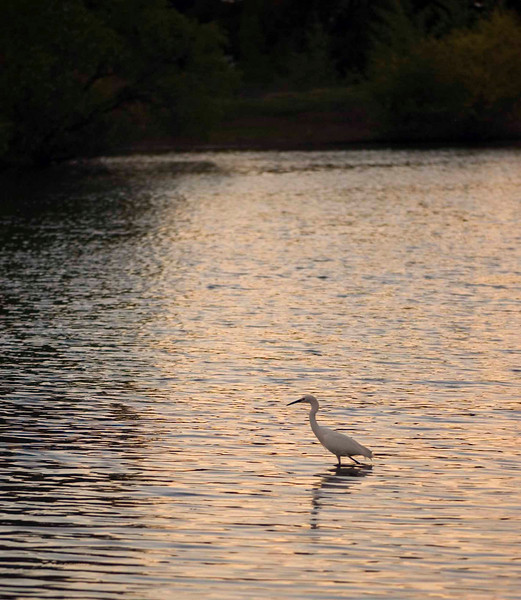 Egret at Belmar Lake