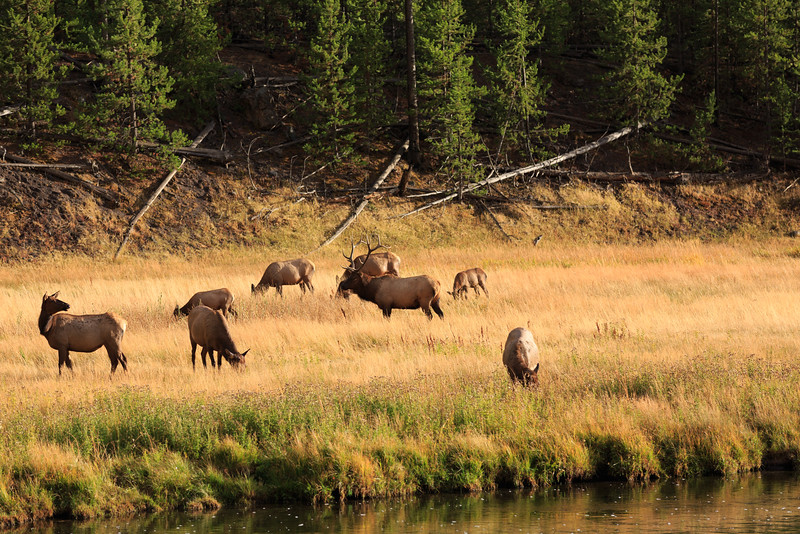 Elk Rut along the Madison River 002
