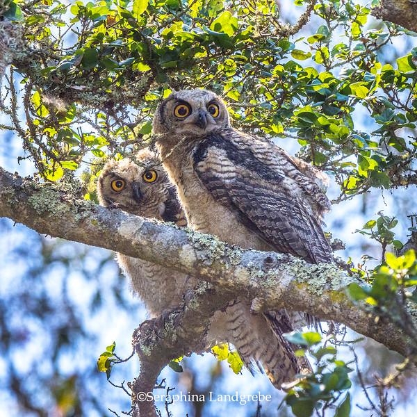 _DSC3052Two owls.jpg