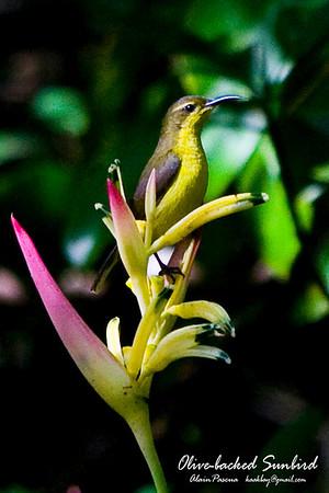 Sunbirds, Spiderhunters