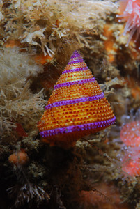 mike bartick Blue ringed top snail shot march 1st D80, 60mm lens, dual strobes hawthorne reef