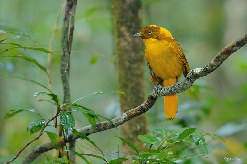 Golden Bowerbird 2.jpg