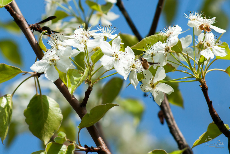 Couple of insects visiting the asian pear blossoms.  Quite a few others buzzing around too fast to catch.  The wasp was walking across the flowers and walking up the branch, while everyone else was flying.  then he or she flew off.