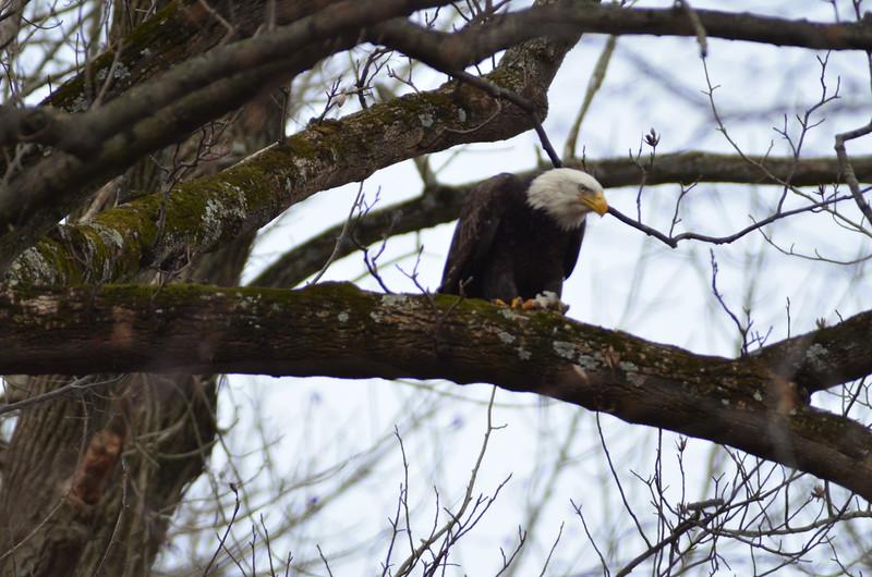 ryle-lenzi-irwin-bald-eagle-conowingo-dam-perched-in-tree.JPG