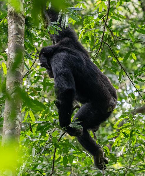 Uganda_T_Chimps-378.jpg
