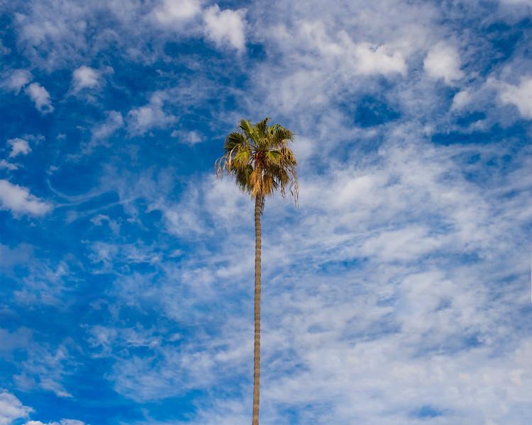 palm tree la jolla