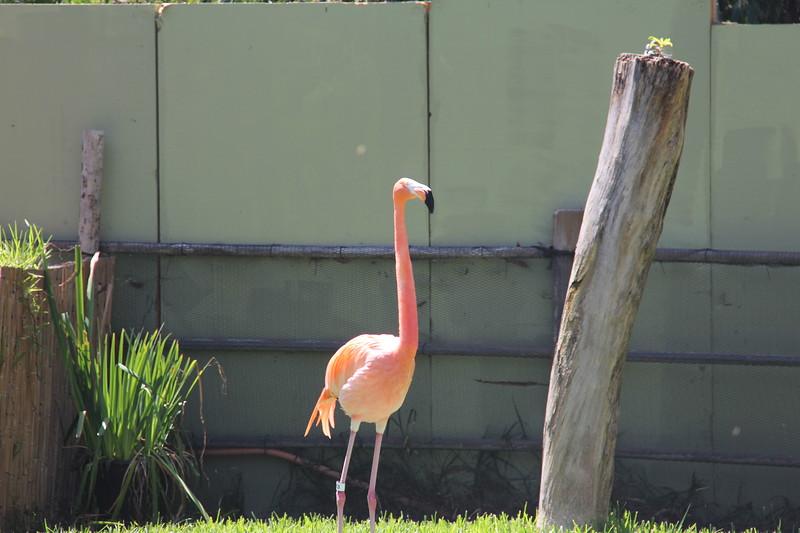 20170807-043 - San Diego Zoo - Flamingo.JPG